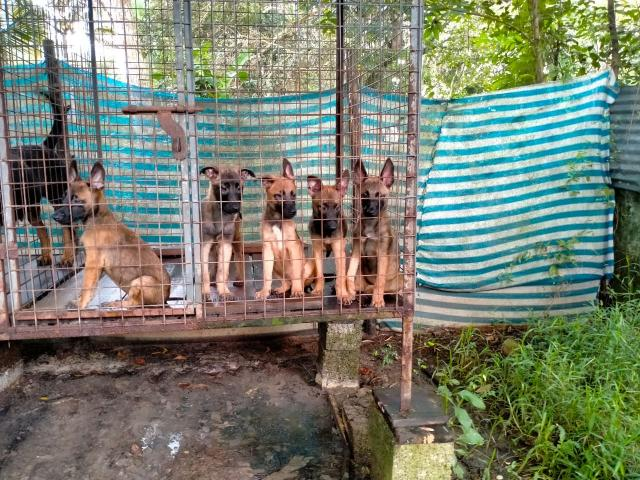 Malinois Puppies Price in Haripad, For Sale, Buy Online