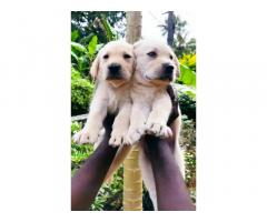 Quality Certified Lab Puppies For Sale in Kottayam
