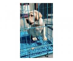 Buy Lab Puppies in Bhogpur, For Sale, Price