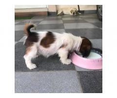 Buy Shihtzu Puppies Online, For Sale, Price, Ludhiana