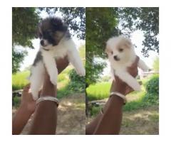 Buy Pom Puppies Online, For Sale, Price, Delhi