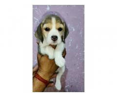 Beagle Puppies for Sale in Ambala, Buy Online, Price