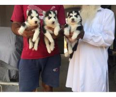 Blue eyes Husky Female for Sale, Buy Online, Price, Malerkotla