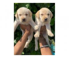 Buy Labrador Retriever Online, For Sale, Price, Jalandhar