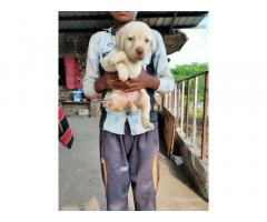 Labrador Dog Puppy Price in Indore, For Sale, Buy Online
