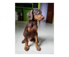 Doberman, Dog For Sale, Pet Supplies, Buy Online, Sai Farm