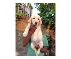 Labrador Female Puppies For Sale in Pune
