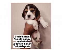 Beagle Puppies available in Bhilai