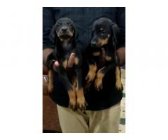 Doberman puppies available in Silchar Assam