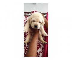Labrador male Puppies Available in Malkajgiri
