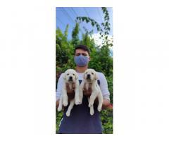 Labrador Price in Guntur, For Sale, Buy Online, Dog For Sale