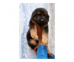 Gsd Male puppy available
