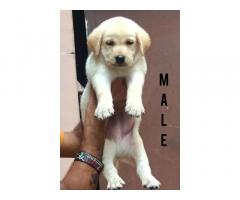 Labrador Available in Chandigarh