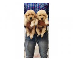Golden retriever male female puppy available for sale in jaipur rajasthan