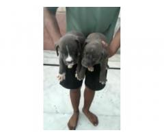 American Bully for sale in hapur near ghaziabad