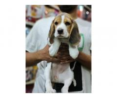 Beagle Puppy for sale in bhilwara rajasthan