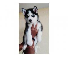 Siberian Husky for sale in banglore