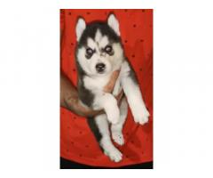 Husky male and female available for sale chandigarh