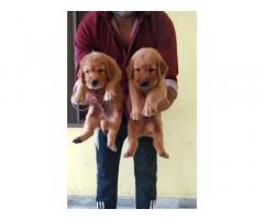 Golden Retriever female and male puppies for sale