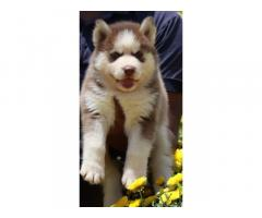 Siberian Husky available in banglore
