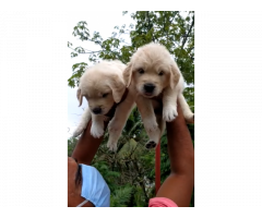 Good quality Heavy bone Golden retriever puppies for sale