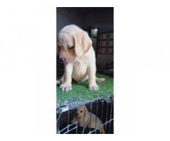 Labrador puppies for sale in ambala haryana