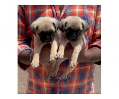 Pug Male Puppies Available In Bangalore