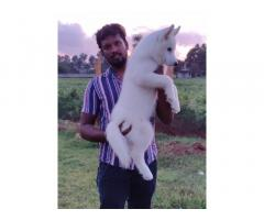 Husky male puppy for sale in bangalore