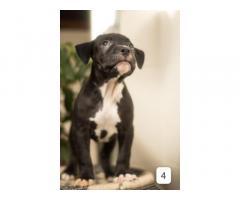 Heavy bones American bully pup's for sale