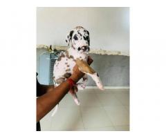 Greatdane male and female puppy for sale