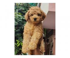 Poodle female available at reasonable price Jaipur rajasthan