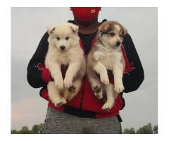 Husky Male Normal eyes And Female Blue eyes Puppy Available