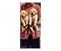 Buy Labrador Puppy, Labrador dog price, online pet shop