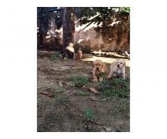 Golden retriever puppy available, Golden retriever dog price
