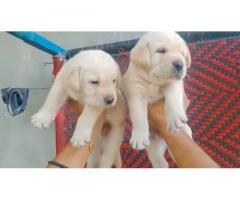 Labrador pair available best price