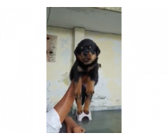 Rottweiler male and female puppy available