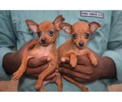 Miniature Pinscher female Puppies Available for Sale