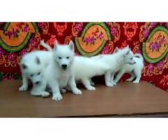 Snow white husky puppies for Sale