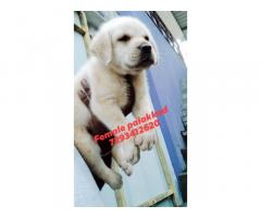 Labrador Puppies Price in Palakkad Kerala
